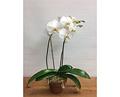 Phalaenopsis orchid plant in Manhasset, New York, Town & Country Flowers