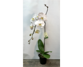 White Orchid in Vermilion, Alberta, Fantasy Flowers