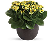 Forever Yellow Kalanchoes in Beaumont TX, Blooms by Claybar Floral