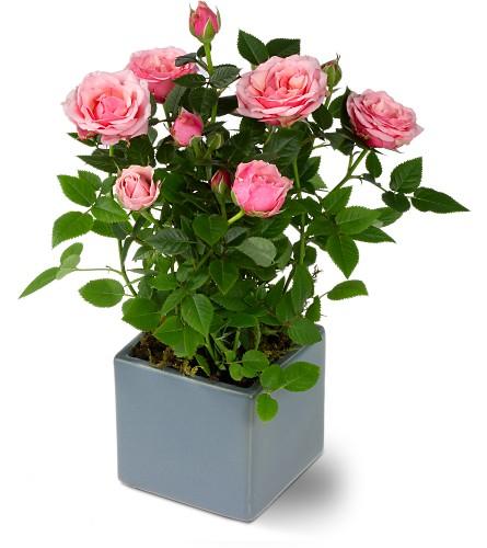 View Larger Miniature Rose Bush