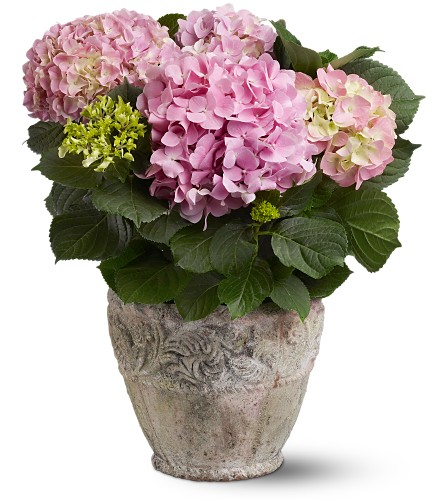 Pink Hydrangea Plant in Oakville ON, Oakville Florist Shop