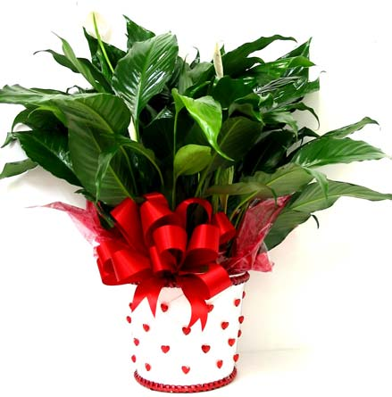 VGP61 ''Valentines Peace Lily'' Green Plant in Oklahoma City OK, Array of Flowers & Gifts