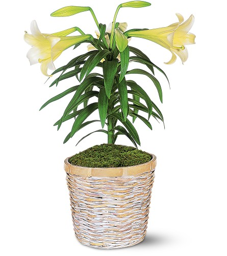 Easter Lily Plant in Friendswood TX, Lary's Florist & Designs LLC