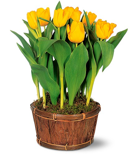 Potted Yellow Tulips in Sapulpa OK, Neal & Jean's Flowers & Gifts, Inc.
