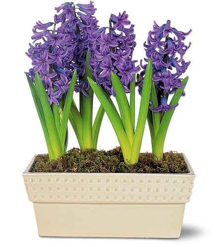 Hyacinth Planter in Kentfield CA, Paradise Flowers