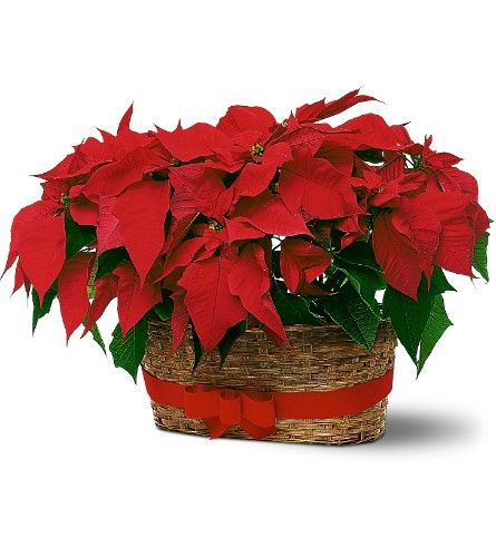 Double Poinsettia Basket in Abington MA, The Hutcheon's Flower Co, Inc.