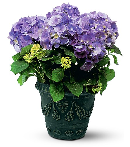 Blue Hydrangea in San Clemente CA, Beach City Florist