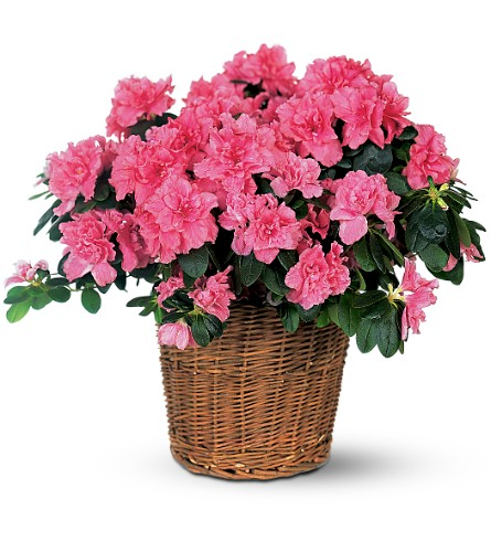 Pink Azalea in Oklahoma City OK, Capitol Hill Florist and Gifts