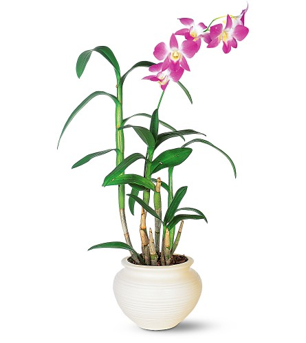 Dendrobium Orchid in New York NY, New York Best Florist