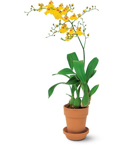 Yellow Oncidium Orchid in Hendersonville TN, Brown's Florist