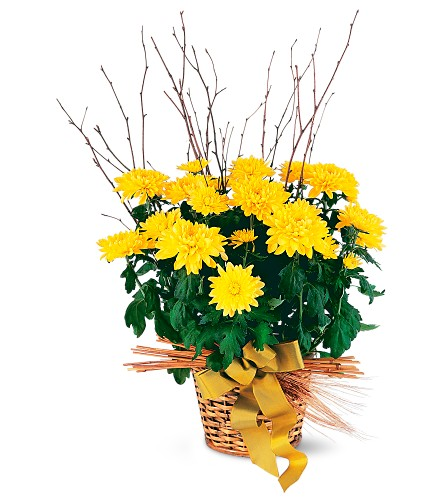 Yellow Hope Chrysanthemum in Bend OR, All Occasion Flowers & Gifts