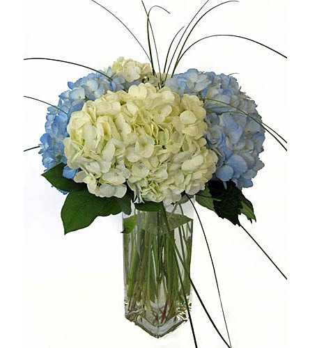 Blue and White Hydrangea in Amherst NY, The Trillium's Courtyard Florist