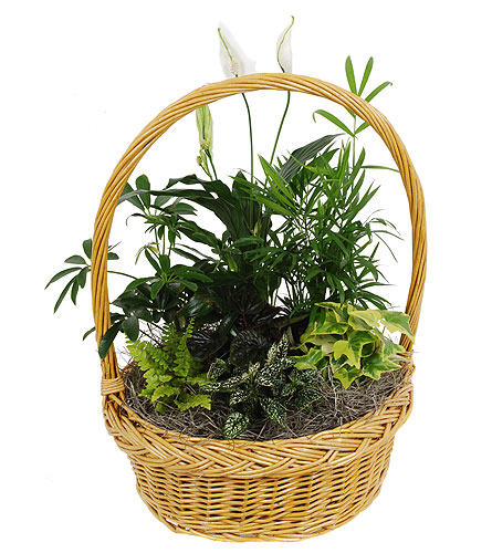 Green Plant Basket Planter in Madison WI, Felly's Flowers