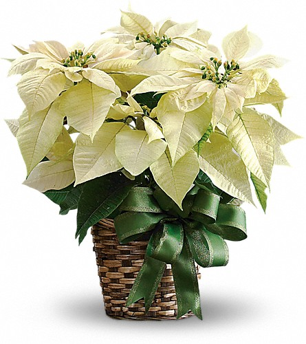 White Poinsettia in Greensboro NC, Botanica Flowers and Gifts
