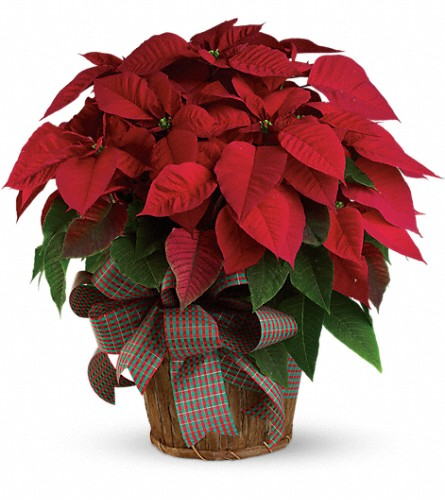 Large Red Poinsettia in Charlottesville VA, A New Leaf Florist