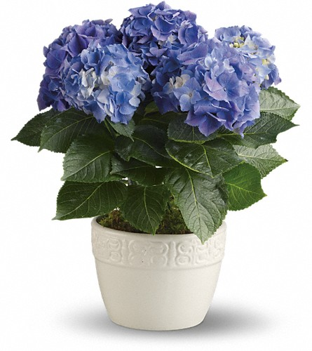 Happy Hydrangea - Blue in Dublin OH, Red Blossom Flowers & Gifts