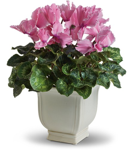 Sunny Cyclamen in San Bruno CA, San Bruno Flower Fashions