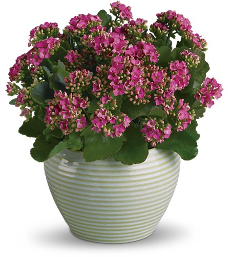 Bountiful Kalanchoe in New York NY, Fellan Florists Floral Galleria