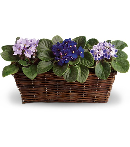 Sweet Violet Trio in Wolfeboro Falls NH, Linda's Flowers & Plants