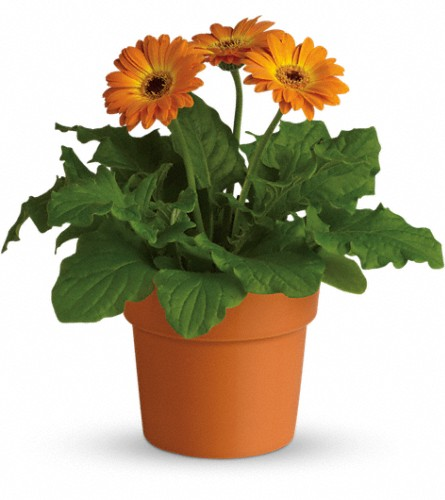 Rainbow Rays Potted Gerbera - Orange in San Bruno CA, San Bruno Flower Fashions
