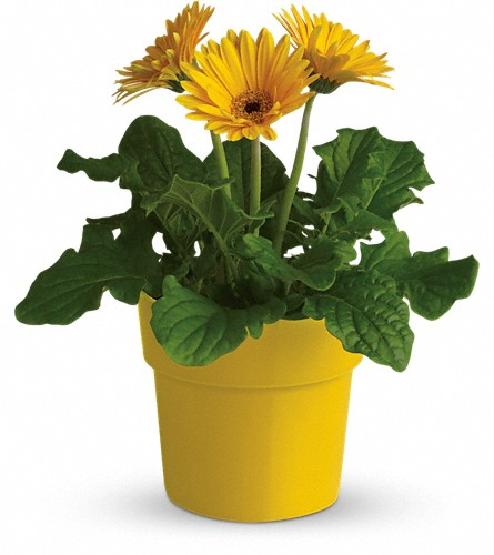 Rainbow Rays Potted Gerbera - Yellow in San Bruno CA, San Bruno Flower Fashions