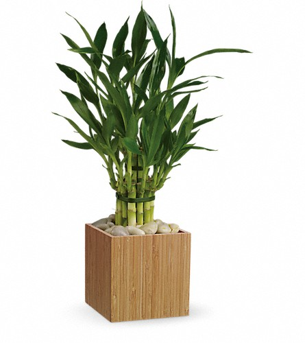 Teleflora's Good Luck Bamboo in New York NY, Fellan Florists Floral Galleria