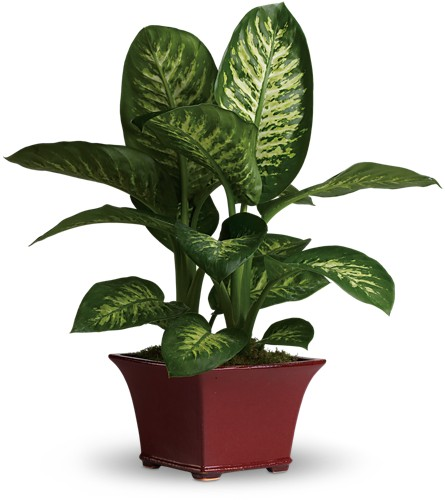 Delightful Dieffenbachia in Arcata CA, Country Living Florist & Fine Gifts