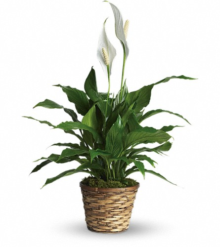 Simply Elegant Spathiphyllum - Small in Stephenville TX, Scott's Flowers On The Square