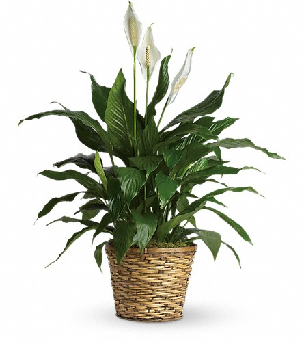 Simply Elegant Spathiphyllum - Medium in Boston MA, Exotic Flowers