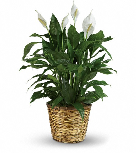 Simply Elegant Spathiphyllum - Large in Beaumont TX, Blooms by Claybar Floral