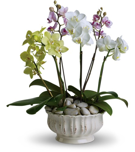 Regal Orchids in Festus MO, Judy's Flower Basket