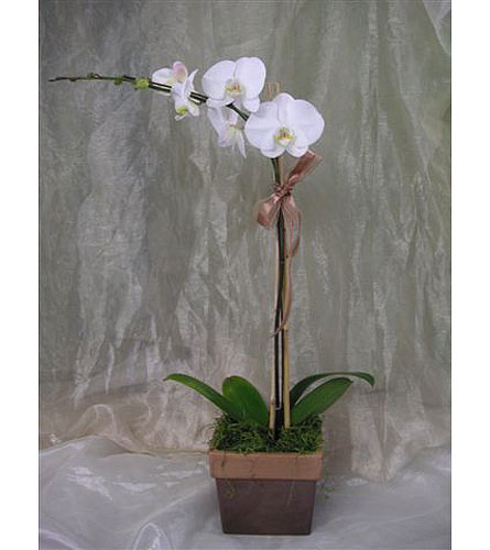 Single Tall White Phal Orchid Plant in West Los Angeles CA, Westwood Flower Garden
