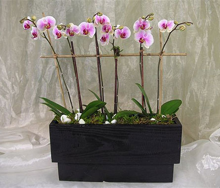 Mini Lavender&White Phal Orchid Plants in West Los Angeles CA, Westwood Flower Garden