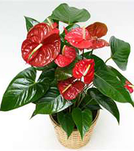 GP68 ''Anthurium Plant'' in Oklahoma City OK, Array of Flowers & Gifts