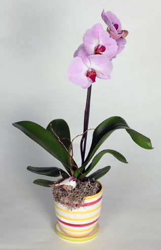 Phalaenopsis Orchid Plant in Southampton PA, Domenic Graziano Flowers