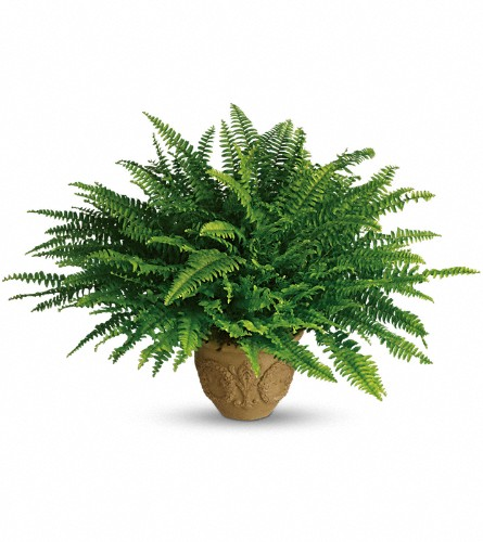 Teleflora's Heartwarming Thoughts Boston Fern in Bakersfield CA, White Oaks Florist