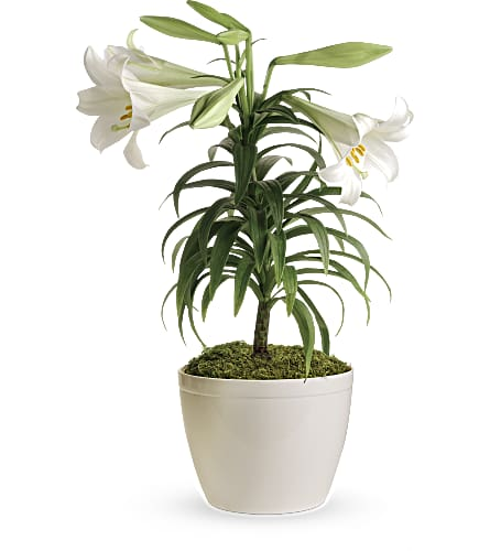 Easter Lily Plant in Asheboro NC, Burge Flower Shop