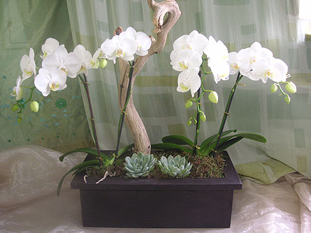 White Mini Phal Orchid Plants with Succulents in West Los Angeles CA, Westwood Flower Garden