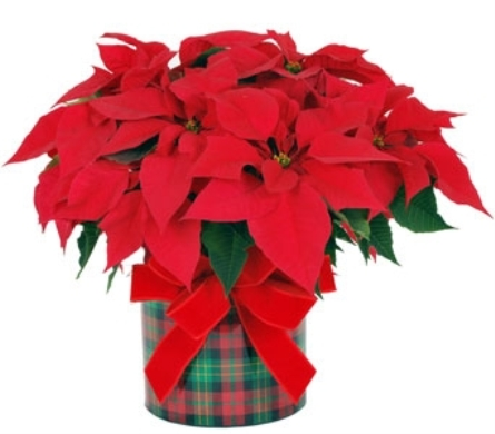 Red Poinsettia in a Plaid Pot in Madison WI, Felly's Flowers
