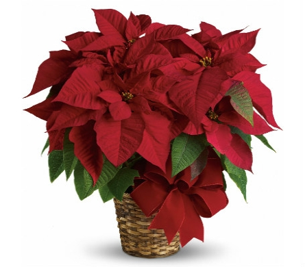 8 red poinsettia in Scarborough ON, Helen Blakey Flowers