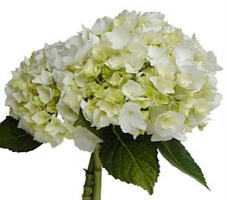 White hydrangea large in columbus oh osuflowers view larger white hydrangea mightylinksfo