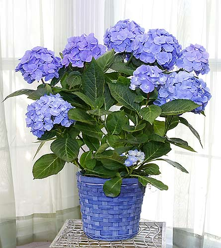 Longview TX Florist - Home> Blue Hydrangae. View Larger