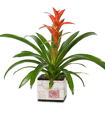 Bromeliad in Palm Springs CA, Palm Springs Florist, Inc.