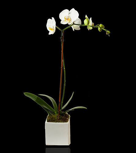White Single Stem Orchid in White Cube in Miami Beach FL, Pistils & Petals