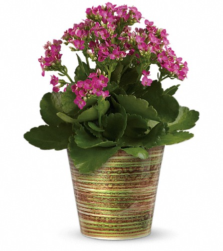 Simply Happy Kalanchoe Plant by Teleflora in Richmond BC, Touch of Flowers