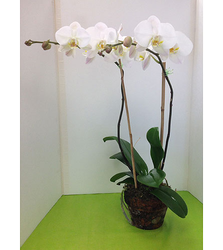 Phalenopsis Orchid in Manhasset NY, Town & Country Flowers