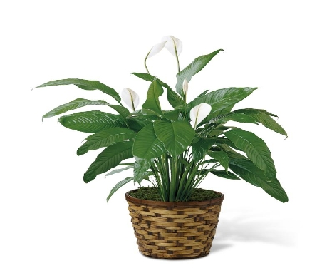 The Spathiphyllum Plant by FTD� in Ogden UT, Lund Floral