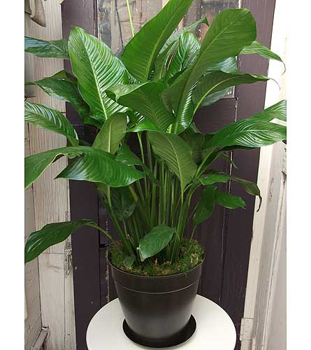 Full Spathiphyllum Plant in West Los Angeles CA, Westwood Flower Garden