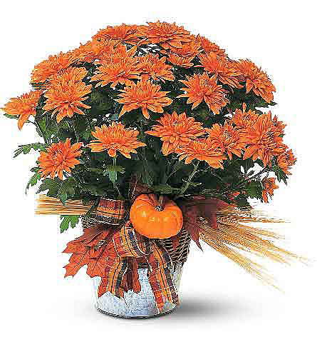 Bronze Cushion Mum Plant