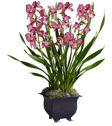 Cymbidium Chic